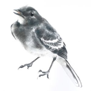 Pied wagtail fledgling for sale at The Ashburn Gallery