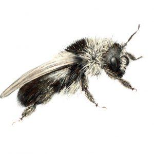 Ashy Mining Bee – the bee drawing series