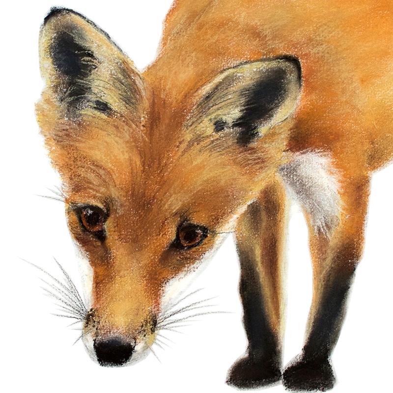 Jill Meager artist. Fox cub 4 pastel drawing