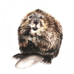 Jill Meager artist. Beaver drawing. Pastel