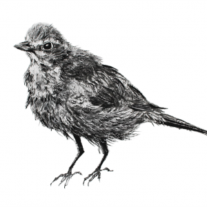 Blackbird fledgling – small drawing series