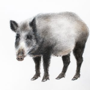 Wild boar – small drawing series
