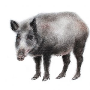 Wild boar for sale at The Ashburn Gallery, Devon
