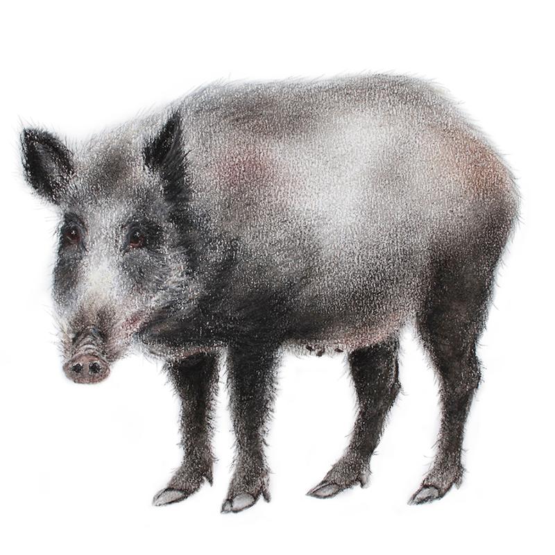 Wild boar. JillMeager