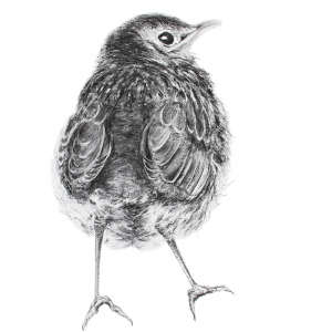 Song thrush fledgling pastel Jill Meager