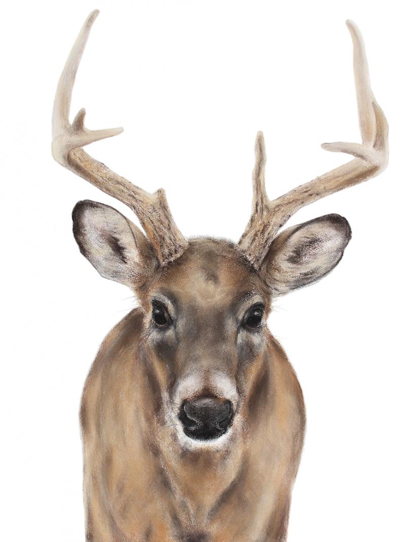 Whitetailed deer. Jill Meager artist