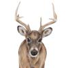 Whitetail deer Jill Meager