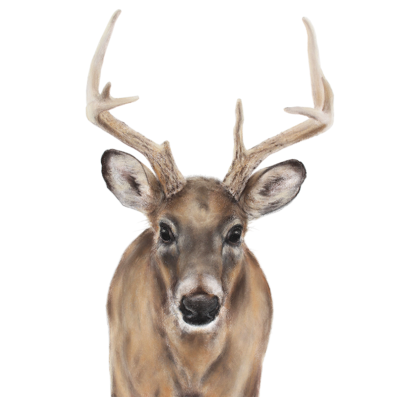 Whitetail deer Jill Meager