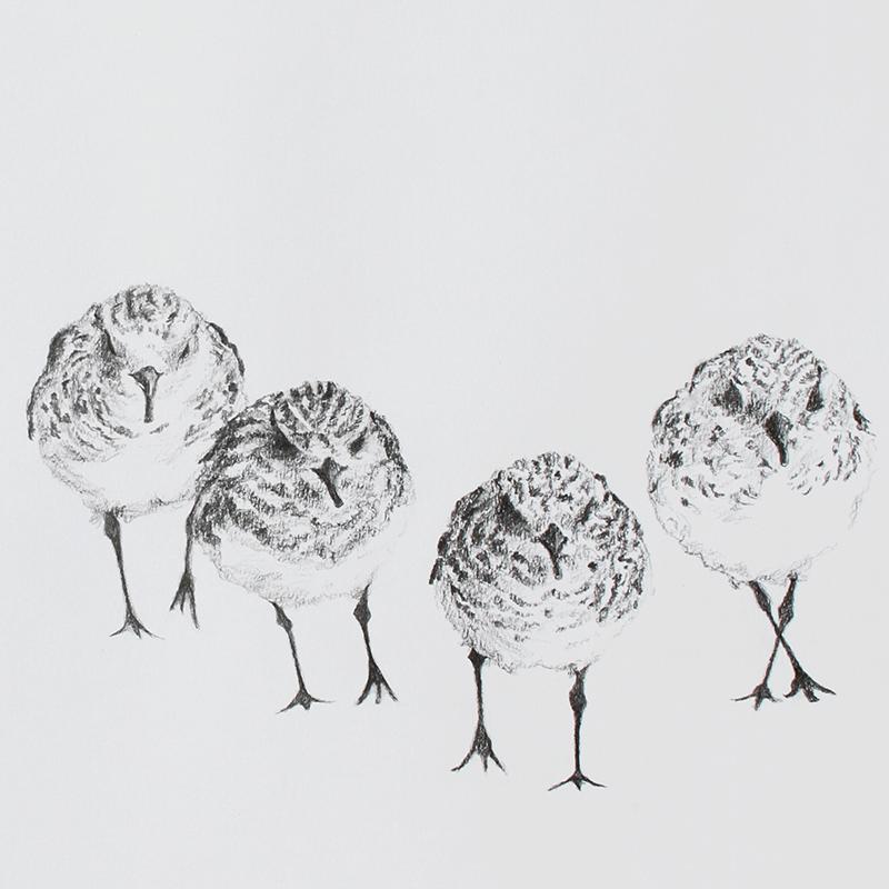 Sanderlings. Graphite. Jill Meager artist