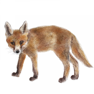Fox cub 7 – for sale at The Bobcat Gallery