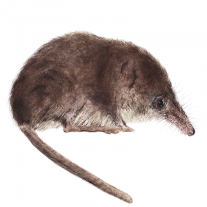 Shrew – for sale at the Bobcat Gallery
