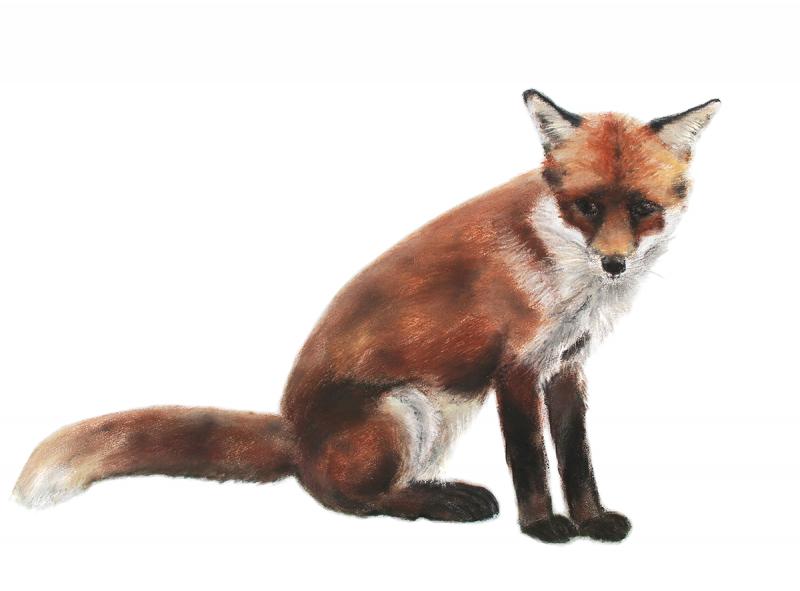Jill Meager artist Fox cub 5. Pastel